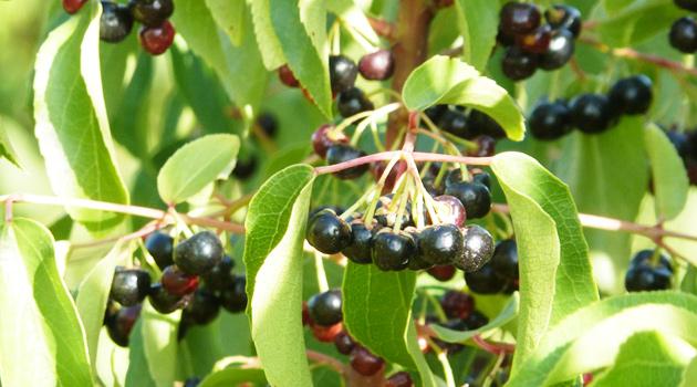 berries-nativos