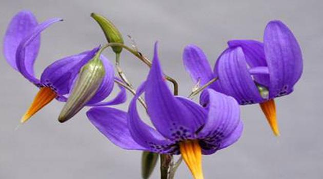 ornamentales-nativos